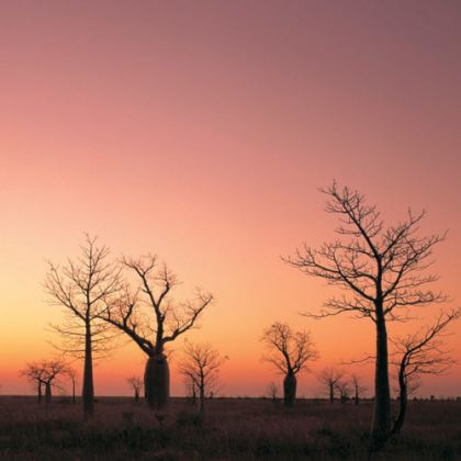 Boab trees at sunset